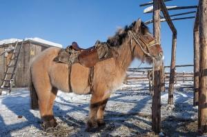 A_Yakutian_horse_(9762345674)