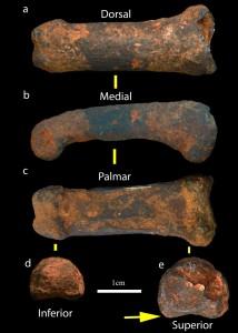 L'osso del dito ritrovato nelle Grotte di Sterkfontein. Credit: Jason Heaton