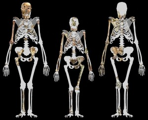 800px-Australopithecus_sediba_and_Lucy