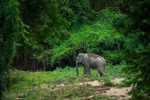 Elephas_maximus,_(wild)_Asian_elephant_-_Huai_Kha_Khaeng_(20497002282)
