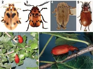 Coleotteri per le frecce avvelenate usati dalle popolazioni San e loro piante ospiti (foto: CS Chaboo, se non indicato diversamente). 2 Diamphidia nigroornata Ståhl (=D. simplex Péringuey, =D. locusta Fairmaire), Namibia (Chrysomelidae) 3 Polyclada sp. (Chrysomelidae) 4 Blepharida sp., Kenya (foto: C Smith, USNM) 5 Lebistina sp. (Carabidae) 6 Diamphidia femoralis (sopra) e il suo nemico predatore-parassitoide, Lebistina (sotto), su pianta di Commiphora nel Sud Africa (foto: K Ober) 7 Lebistina sanguinea (Boheman) coleottero adulto su pianta di Commiphora in Sud Africa (foto: E. Grobbelaar, SANC, ARC-PPRI).