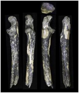 Un team internazionale ha ritrovato denti fossili e ossa dell'avambraccio da un adulto e due bambini di Australopitecus afarensis, presso il fiume Kantis vicino Ongata-Rongai, insediamento alla periferia di Nairobi. Credit: Masato Nakatsukasa / Kyoto University