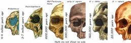 human face hominins evolution