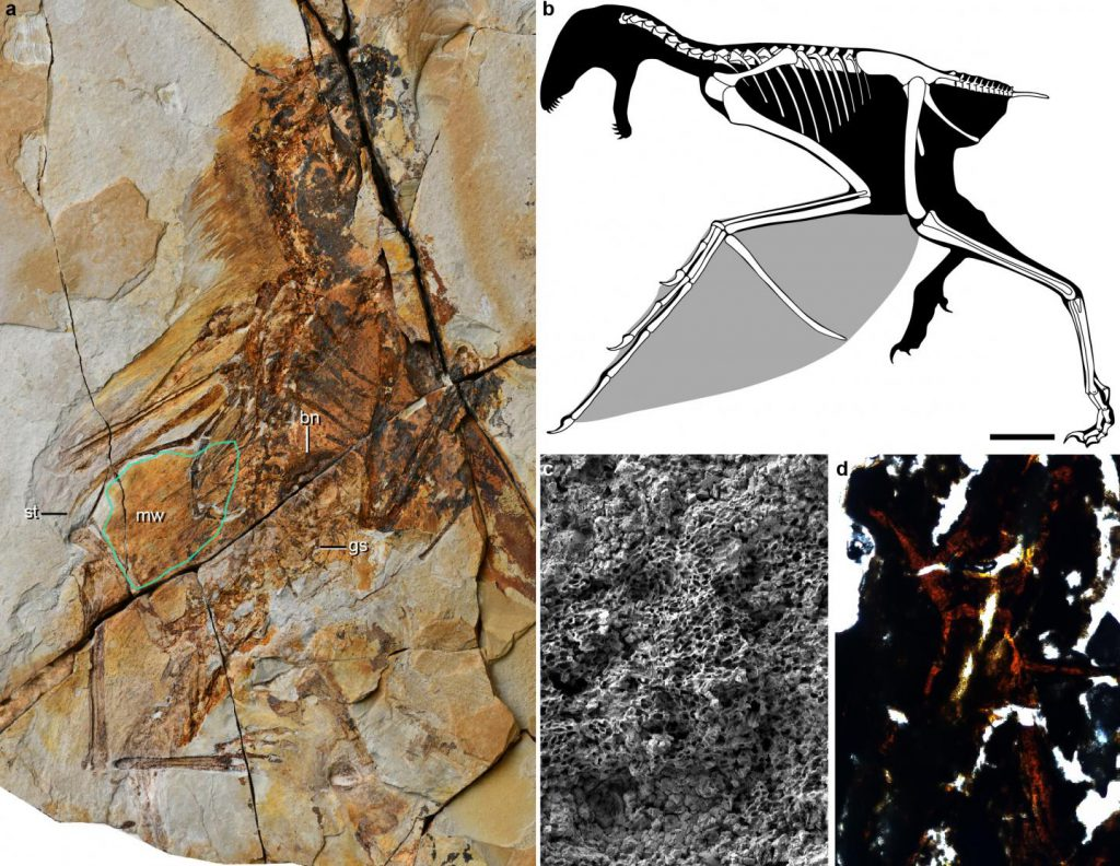 origin of flight Ambopteryx longibrachium