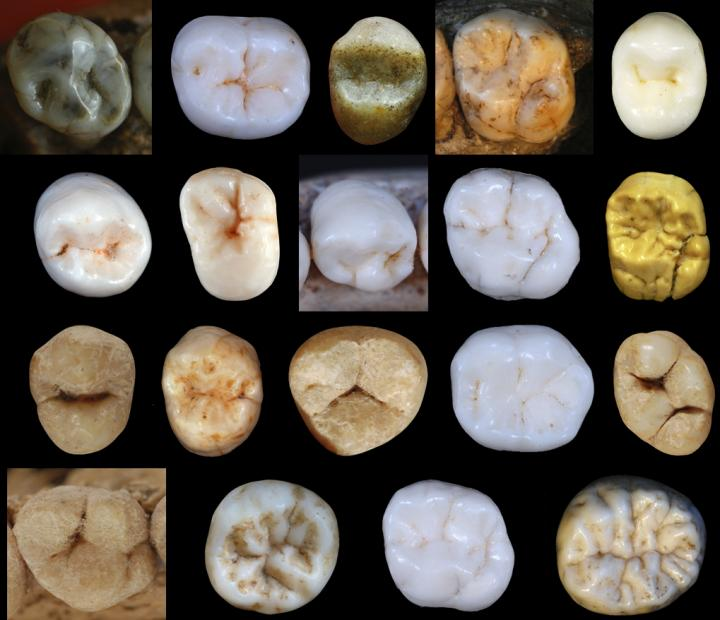 Neanderthals diverged teeth