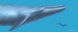 balena di Matera Balaenoptera cf. musculus di Matera