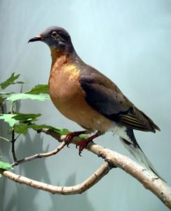 640px-ROM-BirdGallery-PassengerPigeon
