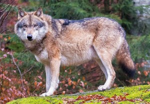 Grey_wolves_in_Bavarian_Forest_National_Park_(cropped)