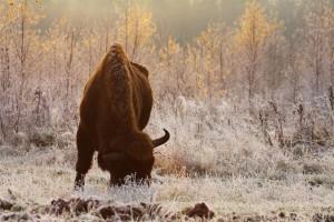Bisonte europeo. Foto di R. Kowalczyk