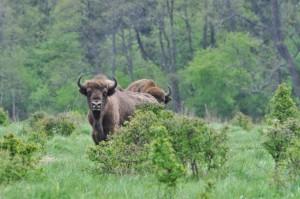 Bisonti che si nutrono nelle aree aperte ai bordi della Foresta di Bialowieża. Foto di T. Kamiński