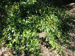 800px-Danae_racemosa_-_J._C._Raulston_Arboretum_-_DSC06157