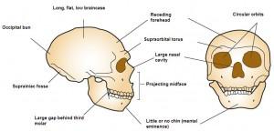 Neanderthal_cranial_anatomy