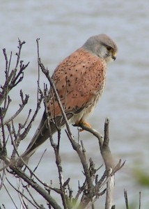 Common_Kestrel_1