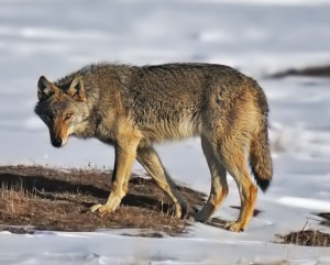 Wolf_on_alert