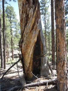 Foto del 2012 di albero colpito dal fuoco. Credit: TJ Ferguson, U Arizona