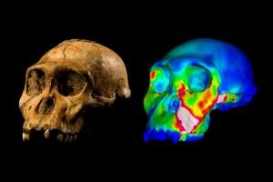 """Teschio fossile dell'esemplare di Australopithecus sediba noto come MH1 e modello del cranio che ritrae le tensioni durante un morso simulato . I colori """"caldi"""" indicano regioni a più alta tensione, mentre i colori """"freddi"""" indicano regioni a più bassa tensione. Credit: WUSTL GRAPHIC: Image of MH1 by Brett Eloff provided courtesy of Lee Berger and the University of the Witwatersrand."""