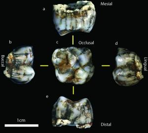 Il nuovo molare ritrovato nelle Grotte di Sterkfontein. Credit: Jason Heaton