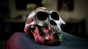 Calco del cranio di Lucy, Australopithecus afarensis, dall'Etiopia. Credit: David Hocking