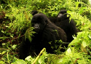 800px-Gorillas-moving