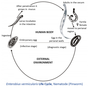 Enterobius_vermicularis_life_cycle.tif