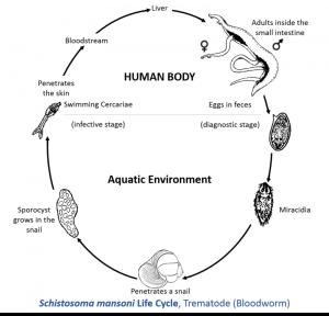 Schistosoma_mansoni_Life_Cycle.tif