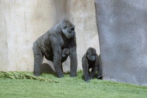 Jim (sulla destra), il cui cromosoma Y è stato sequenziato, insieme a Dolly, sua madre, e Binti, sua sorella. Credit: San Diego Zoo Global