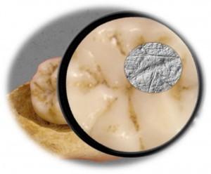 Molare umano fossilizzato utilizzato nello studio. Credit: Sireen El Zaatari PLOS ONE e0153277