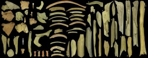 La collezione di ossa di Neanderthal dalla terza grotta di Goyet, con il coinvolgimento di almeno 5 individui. Quelle con asterisco daterebbero tra 40.500 e 45.500 anni fa. Credit: Asier Gómez-Olivencia et al.