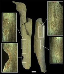Diverse categorie di modificazioni antropogeniche su ossa di Neanderthal a Goye. Il Femore I è stato usato come percussore per modellare la pietra, mentre il Femore III mostra i segni di attività di macellazione, oltre ai segni di utilizzo per ritoccare i bordi di strumenti litici. Credit: Asier Gómez-Olivencia et al.