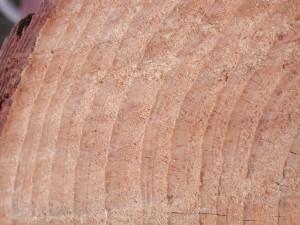 Pinus_taeda_crossx7358