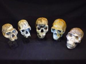 Calchi di teschi di ominidi. Da sinistra: Australopithecus afarensis, Homo habilis, Homo ergaster, Homo erectus e Homo neanderthalensis. Photo credit: Roger Seymour. Calchi fotografati nel South Australian Museum.