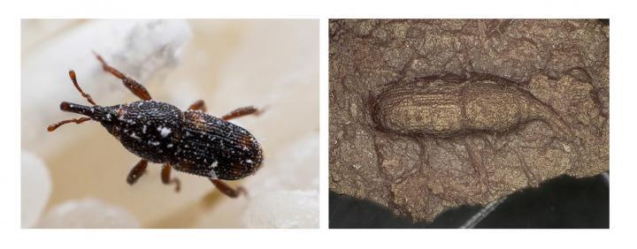 Sitophilus zeamais Giappone Hokkaido Curculionidi Curculionidae Tatesaki