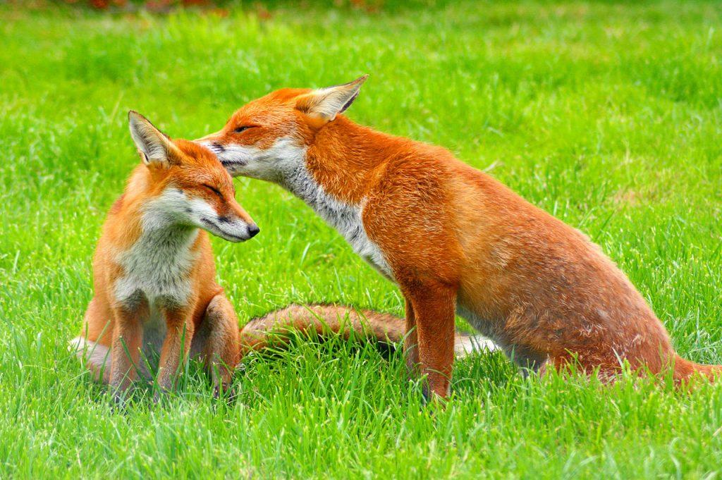 volpe volpi vulpes vulpes cani da lavoro Età del Bronzo Spagna Penisola Iberica preistoria