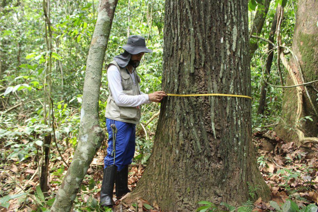 Amazonia tree rings dendrochronology Brazil nut tree