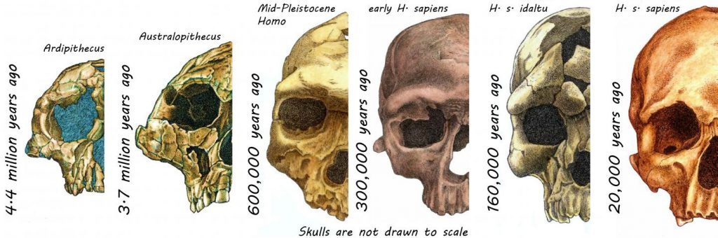 human face hominins evolution