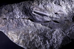 Cambrian explosion oxygen