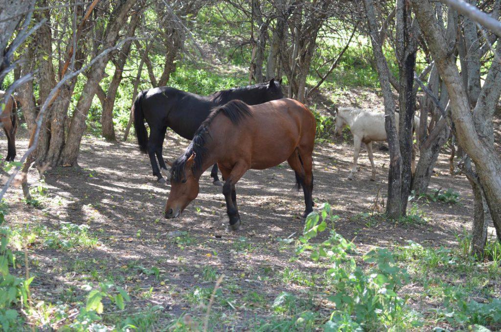 wild horses apple