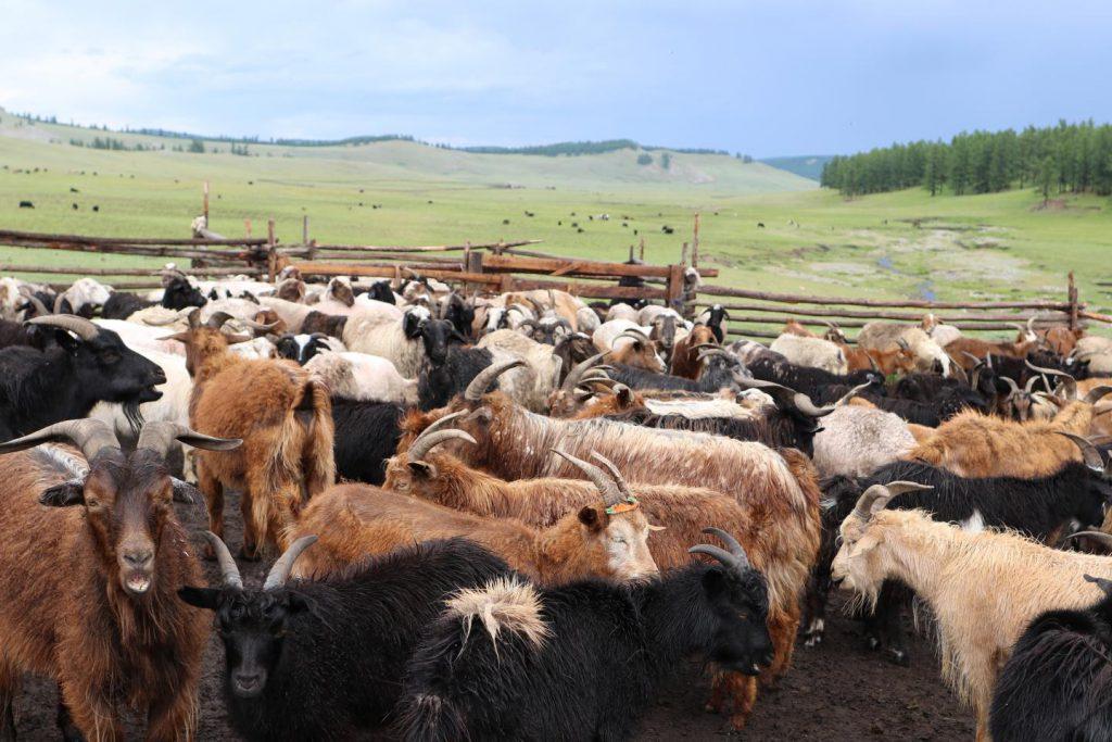 dairying Eurasia