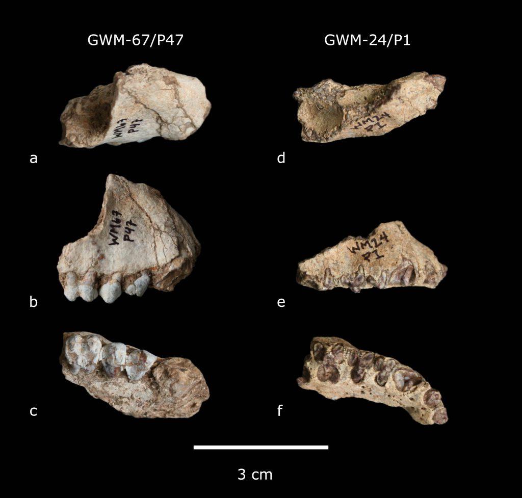 Gona primate Pliopapio alemuiand Kuseracolobus aramisi