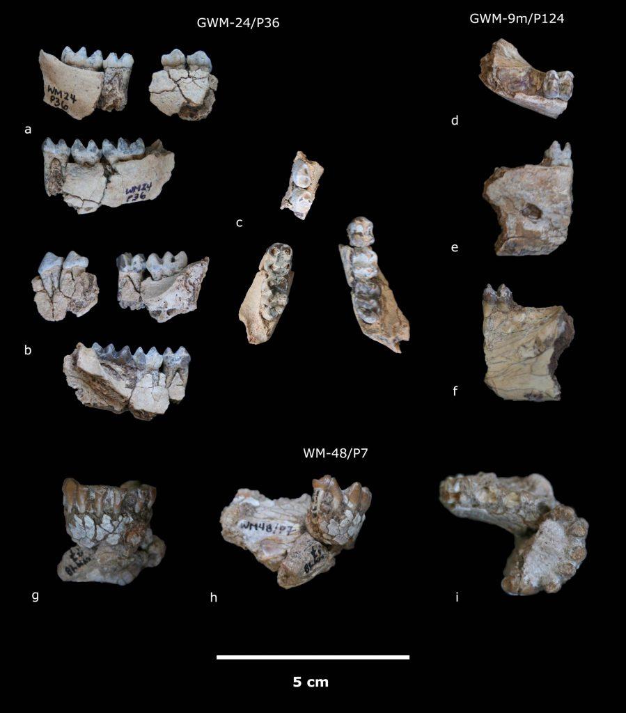 Gona Kuseracolobus aramisi