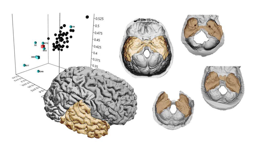 temporal lobes erectus sapiens ergaster