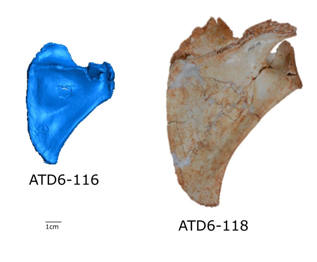 Homo antecessor shoulders
