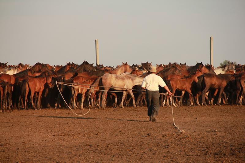 origin domestic horses domestic horse